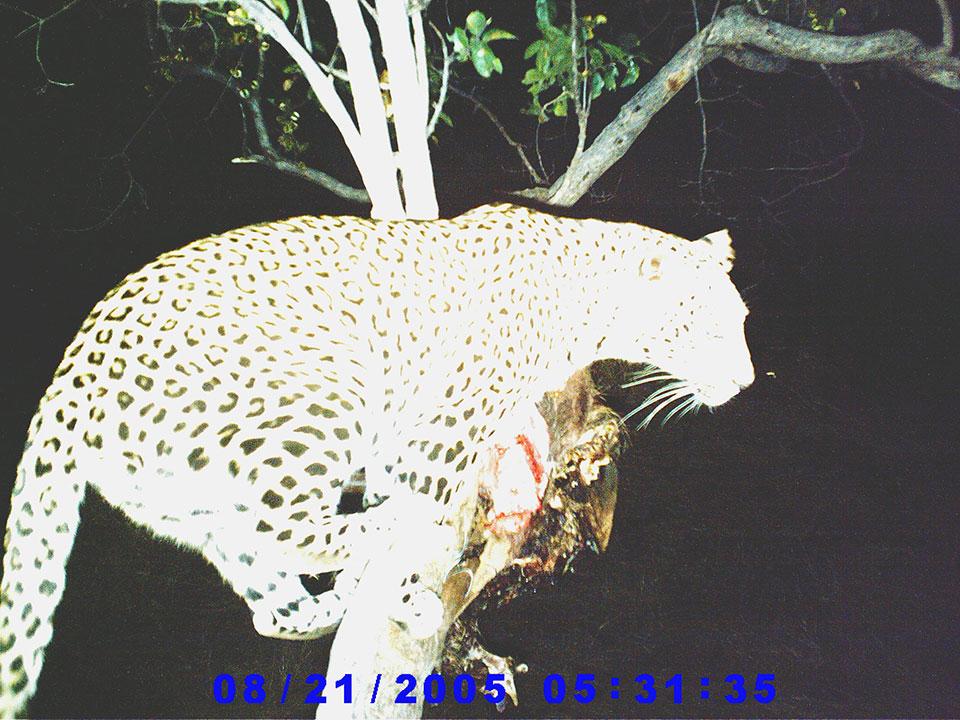 Large-leopard-on-trail-cam-photo.jpg