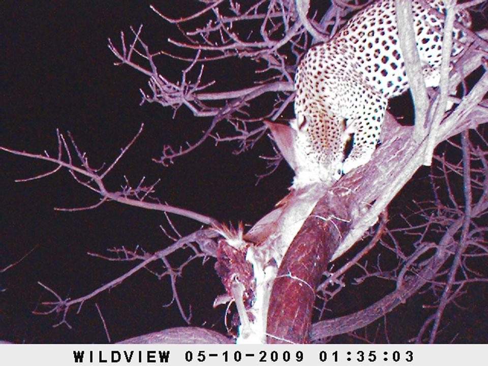 Leopard-on-bait-trail-camera-photos.jpg