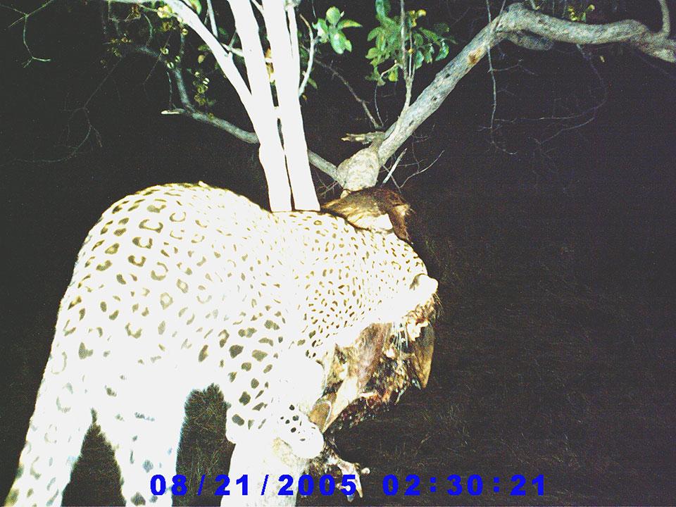Leopard-trail-camera-photos.jpg