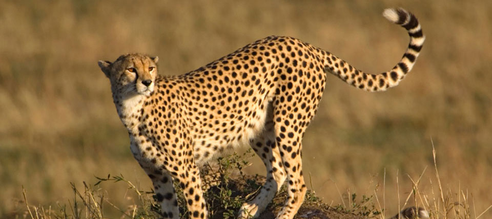 Cheetah Hunting in Namibia | Trophy Cheetah Hunts in Africa